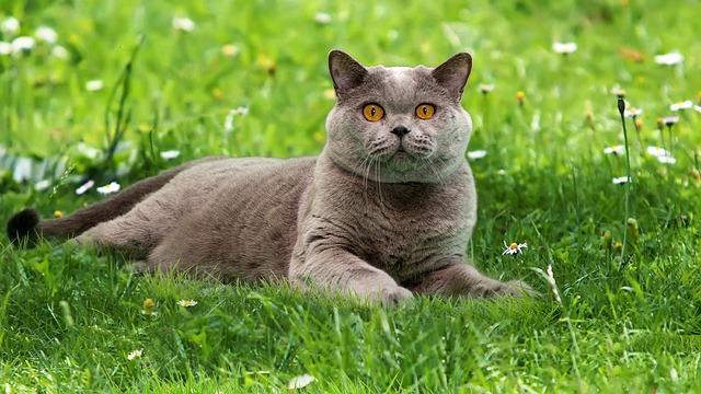 Britská modrá kočka na trávě